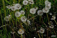 Pusteblumen im Gegenlicht.... (peterphot) Tags: lowenzahn pusteblumen garten leica sachsen mai