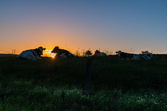 ce matin (Hamid Chouaieb) Tags: vache animal animals morning sun sunrise lever du soleil blue light beautiful sky ciel vaches