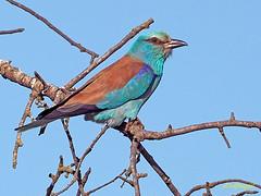 Carraca europea (Coracias garrulus) (15) (eb3alfmiguel) Tags: aves pájaros insectívoros coraciiformes coracidae carraca europea coracias garrulus