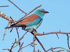 Carraca europea (Coracias garrulus) (7) (eb3alfmiguel) Tags: aves pájaros insectívoros coraciiformes coracidae carraca europea coracias garrulus