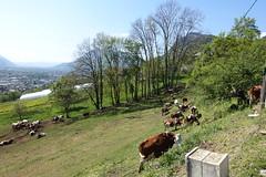 Cow @ Châtillon-sur-Cluses @ Hike to Mont Orchez (*_*) Tags: 2019 may afternoon spring printemps europe france hautesavoie 74 cluses savoie hiking mountain montagne walk marche randonnee nature