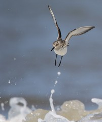 Sanderling dodging the waves (Tom Wright.) Tags: