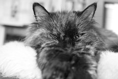 Zarah (Vasquezz) Tags: katze cat zarah sibirischekatze sibirisch sibirische siberiancat siberian сибирская кошка сибирскаякошка zarin abschied coth coth5 cothgg bestofcats catmoments vg~catsgallery kittyschoice kittysuperstar alittlebeauty fantasticnature sunshine5 sunshinesc realbutee3
