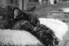 Zarah (Vasquezz) Tags: katze cat zarah sibirischekatze sibirisch sibirische siberiancat siberian сибирская кошка сибирскаякошка zarin abschied