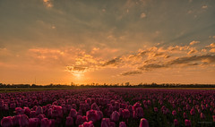 Light clouds. (Alex-de-Haas) Tags: 1635mm d500 dutch europa europe holland nederland nederlands netherlands nikkor nikkor1635mm nikon nikond500 noordholland agriculture akkerbouw beautiful beauty bloemen bloemenvelden boerenland bollenvelden bulbfields farmland farming flowerfields flowers landbouw landscape landscapephotography landschaft landschap landschapsfotografie lente lucht mooi polder pracht schoonheid skies sky spring sundown sunset tulip tulips tulp tulpen zonsondergang sintmaartensvlotbrug northholland
