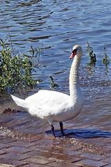 er macht einen langen Hals (mama knipst!) Tags: schwan swan wasservogel bird natur rheinufer wesseling