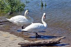 Schwäne am Rhein (mama knipst!) Tags: schwan swan wasservogel bird natur rheinufer wesseling