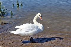 Schwan am Rheinufer (mama knipst!) Tags: schwan swan wasservogel waterbird vogel bird naturrheinufer wesseling rheinufer