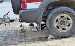 die drei Warzenenten (mama knipst!) Tags: warzenente ente duck vogel bird rheinufer wesseling