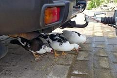 die drei Warzenenten (mama knipst!) Tags: warzenente ente duck vogel birdrheinufer wesseling rheinufer
