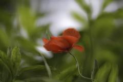 Poppy (pasquale di marzo) Tags: flower fiore poppy papavero esterno colore macro maggio 2019