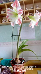 Amaryllis (6th White with red veining of 2019) Flowers on living room table 20th May 2019 (D@viD_2.011) Tags: amaryllis 6th white with red veining 2019 flowers living room table may
