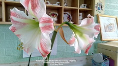 Amaryllis (6th White with red veining of 2019) flowering on living room table  21st May 2019 (D@viD_2.011) Tags: amaryllis 6th white with red veining 2019 flowers living room table may