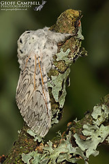 Puss Moth (Cerura vinula) (gcampbellphoto) Tags: pussmoth ceruravinula moth insect invert nature wildlife dunes willow ireland biodiversity gcampbellphoto