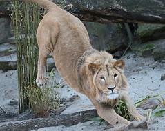 african lion Dembe artis 094A0085 (j.a.kok) Tags: animal artis africa afrika afrikaanseleeuw africanlion leeuw lion mammal zoogdier dier predator dembe pantheraleoleo