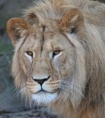 african lion Dembe artis 094A0145 (j.a.kok) Tags: animal artis africa afrika afrikaanseleeuw africanlion leeuw lion mammal zoogdier dier predator dembe pantheraleoleo