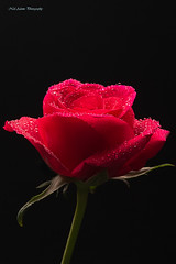 red rose (Neil Adams Photography (Wirral)) Tags: red rose green black water drops droplets flower flowers