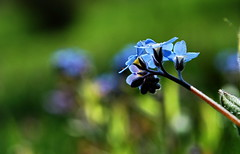 - (klaus53) Tags: forgetmenot macro flowers nikon