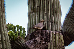 Saguaro and dove (Stephen G Nelson) Tags: bird dove cactus saguaro desert tucson arizona