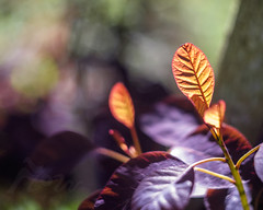 Catching The Light (Fourteenfoottiger) Tags: bokeh helios44m leaves trees plants nature bright colour colourful detail contrast patterns textures garden vintagelens vintagebokeh light sunlight spring summer backlit backlight manualfocus dof