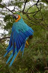 Ara Bolivie _4518 (ichauvel) Tags: ara parrot perroquet multicolore bleu blue blueparrot oiseau beautédelanature beautyofnature arbre tree bolivie bolivia sanracruz amériquedusud southamerica amériquelatine voyage travel exterieur outside branche getty