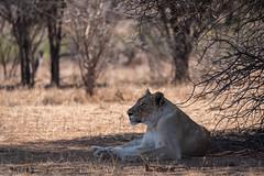 Mrs. Lion (Just_Maze) Tags: africa afrika südafrika southafrica lion löwe löwin kruger nationalpark wildlife