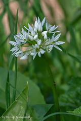 Bärlauch (Allium ursinum) (renate.marquardt) Tags: bärlauch frühling blühenderbärlauch bärlauchblüte blüten blossoms spring springtime