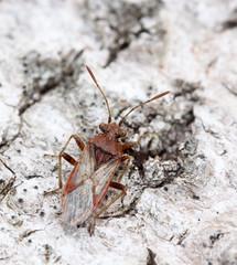 Rhopalus parumpunctatus (5) (saracenovero) Tags: rhopalusparumpunctatus rhopalidae pentatomomorpha heteroptera hemiptera bugs bugsoflithuania wanzen mazeikiai 2018