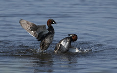 Little Grebe Fight (Ann and Chris) Tags: grebes fighting fight water waterbird nature wildlife