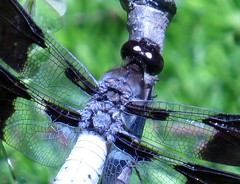 Dragonfly (dbourdon47) Tags: 100xthe2019edition 100x2019 image68100
