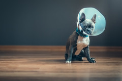 (Rebecca812) Tags: puppy dog frenchie frenchbulldog cone sad cute adorable love girl togetherness friendship care harwoodfloor canon people pets animals portrait rebecca812
