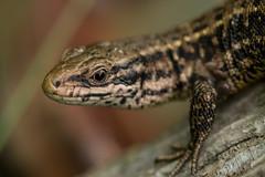 Viviparous lizard (MacGeizer) Tags: nature natuur zootoca vivipara viviparous lizard levendbarende hagedis closeup reptile reptiel macro canon80d canon100mm