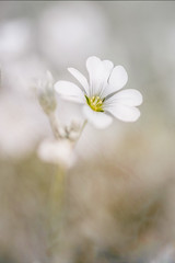 141/365 Cerastium (belincs) Tags: textures oneaday flower 2019 lincolnshire 365 outdoors may uk cerastium 365the2019edition 3652019 day141365 21may19