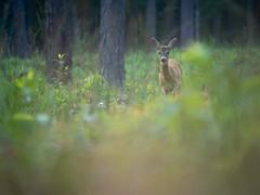 Dans la forêt (Mateusz Zdun) Tags: forest lumix lumixgx7 las wildlife wilderness wildlifephotography wildanimal poland polska