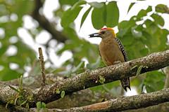 Hoffmann's Woodpecker (Tim Aldworth) Tags: birds costarica2019 ef70300mmf456lis eos7d holiday sanjosebougainvilleahotel woodpecker hoffmannswoodpeckermelanerpeshoffmannii bluecrownedmotmotmomotuscoeruliceps