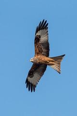 Kite (bp-122) Tags: birds kites flight nikon sky bird wings claws prey eyes feathers wildlife