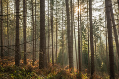 Delamere Forest Sunrise Rays #3 (Rob Pitt) Tags: delamere forest mist pine trees winter spring sony a7rii mere cheshire 1740 light beams rays sunrise sunbeam wood tree
