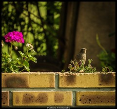 Oui, bonjour, c'est pour quoi ? (Fotomaniak 53) Tags: oiseau fleur muret nature jardin canon 550d raw eos fotomaniak53