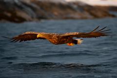 _NN14955 (Niklas_N) Tags: eagle sea whitetailedeagle birdofprey raptor norway
