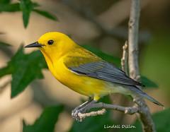 Prothonotary Warbler (Lindell Dillon) Tags: prothonotarywarbler neotropical birds birding nature oklahoma aldoleopold wildoklahoma