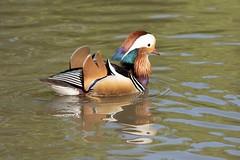 Mandarin duck (Lux Aeterna - Eternal Light) Tags: duck mandarin