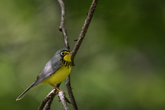 Work & Warblers (rob.wallace) Tags: spring 2019 migration canada warbler male shenandoah national park