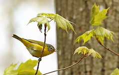 Paruline à joues grises / Nashville Warbler (alainmaire71) Tags: oiseau bird parulidae parulidés vermivorarupicapilla parulineàjouesgrises nashvillewarbler paruline warbler nature quebec canada