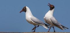 Black Headed Gull-5-2 (ianrobertcole1971) Tags: farne islands sea water birds black headed gull display mating
