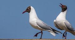 Black Headed Gull-4-3 (ianrobertcole1971) Tags: farne islands sea water birds black headed gull display mating