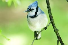 Blue Jay (Anne Ahearne) Tags: wild bird animal nature wildlife bluejay songbird birdwatching closeup