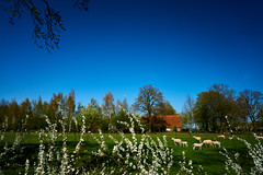 lente (Jos Mecklenfeld) Tags: sonya6000 sonyilce6000 sonyepz1650mm selp1650 westerwolde niederlande nederland sheep schafe schapen spring frühling lente terapel groningen netherlands