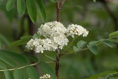 IMG_M2_1142_1 (Alexander Bysov) Tags: nature rowan sorbus mountainash spring foliage tree green white flowers garden рябина весна цветы зеленый белый