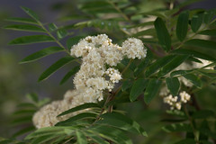 IMG_M2_1137 (Alexander Bysov) Tags: nature rowan sorbus mountainash spring foliage tree green white flowers garden рябина весна цветы зеленый белый