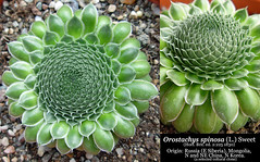 Orostachys spinosa [selected clone] (collage)